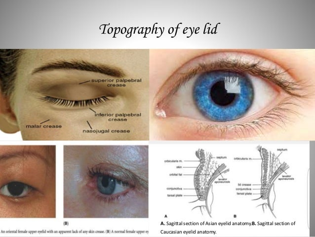 Eye Lid Anatomy
