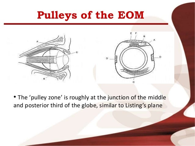 Eye Muscles Anatomy