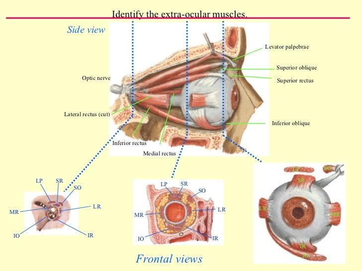Eye Orbit Fazlas Iin Tipfakultesi