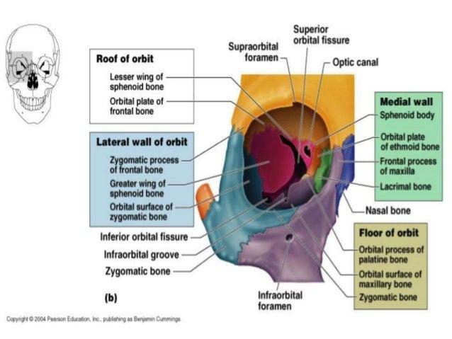bones that form the orbit of the eye - Heart.impulsar.co