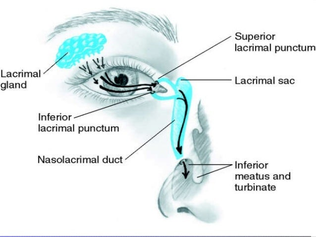EyesInferior Meatus Nasolacrimal Duct