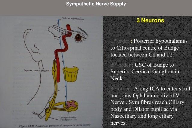parietal lobe: inferior quadrantic hemianopia  Pie on the floor Temporal lobe: superior quadrantic hemianopia Pie in the ...