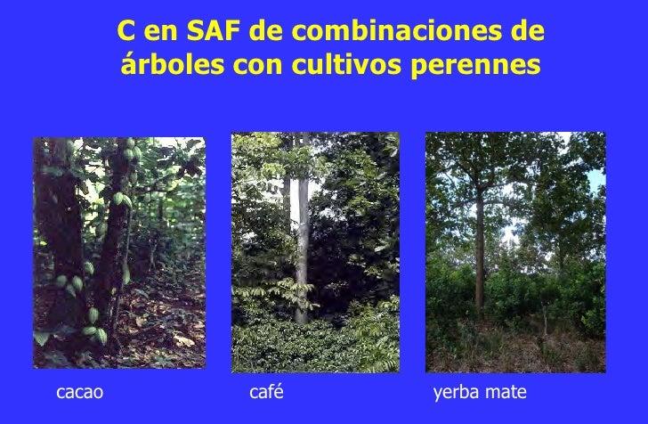 El papel de la agrosilvicultura en la adaptaci n y for Arboles perennes en argentina
