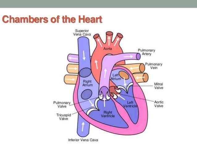 A&P -The Cardiovascular System