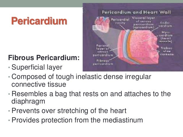 ap 2 cardiovascular system Chapter 11 - the cardiovascular system i cardiovascular system:   2 circuits, so oxygenated  ap is passed throughout the myocardium,.