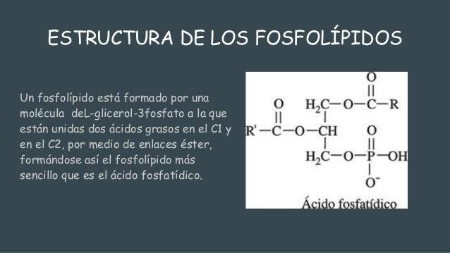 Fosfolipidos for Como estan formados los suelos