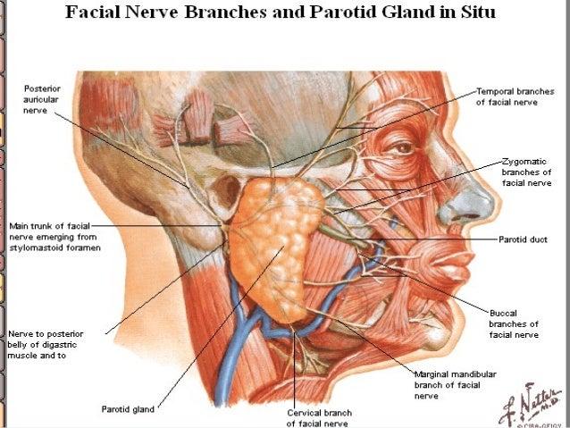 left marginal mandibular nerve relationship
