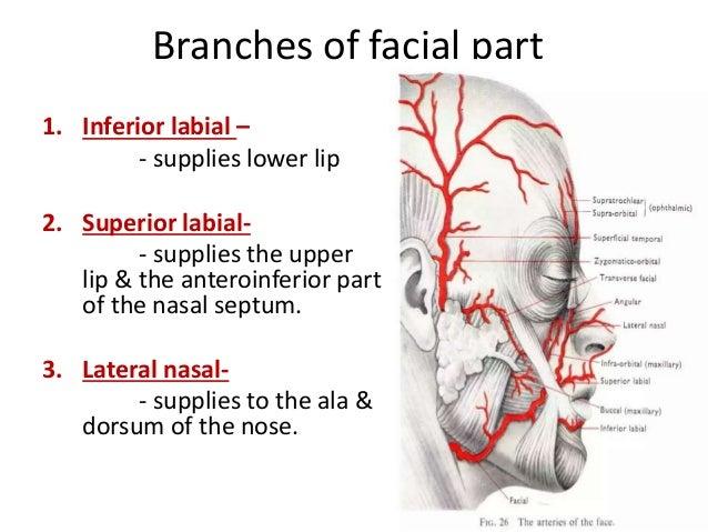 Face nerve &_vessels_(2)_(0)[1] Cervical Piercing