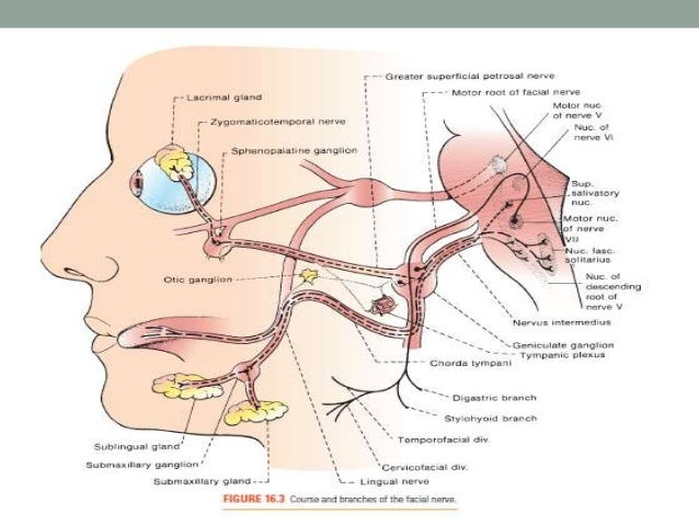facial nerve, Human Body