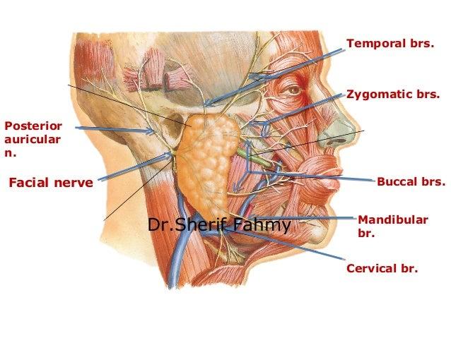 Facial nerve zygomatic
