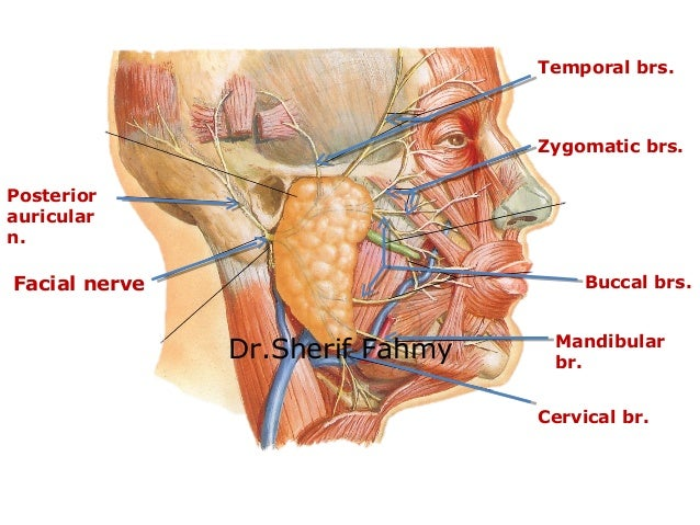 Facial Nerve Anatomy Of The Neck