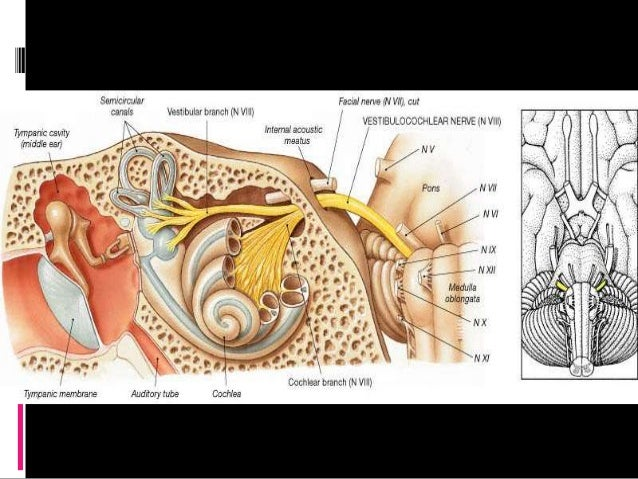 facial nerve anatomy for medical students and ent postgraduates, Human Body