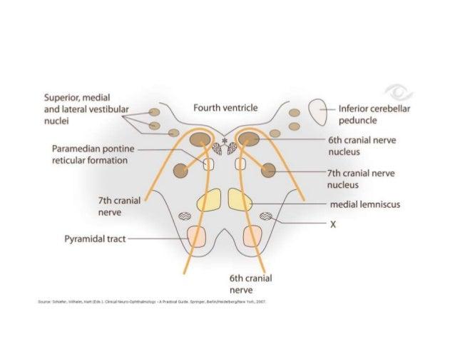 Facial Motor Nucleusfacial Nerve Anatomy Trigeminal V Cranial