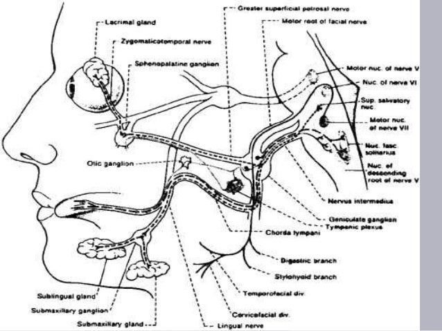 Course Of Facial Nerve Diagram Awesome Projects Photo Album Website