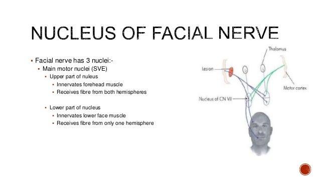 Facial nerve proper