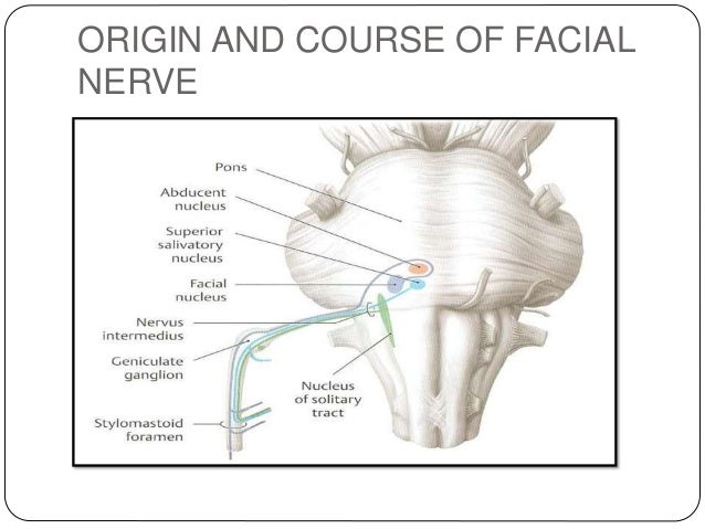 Facial nerve anatomy picture