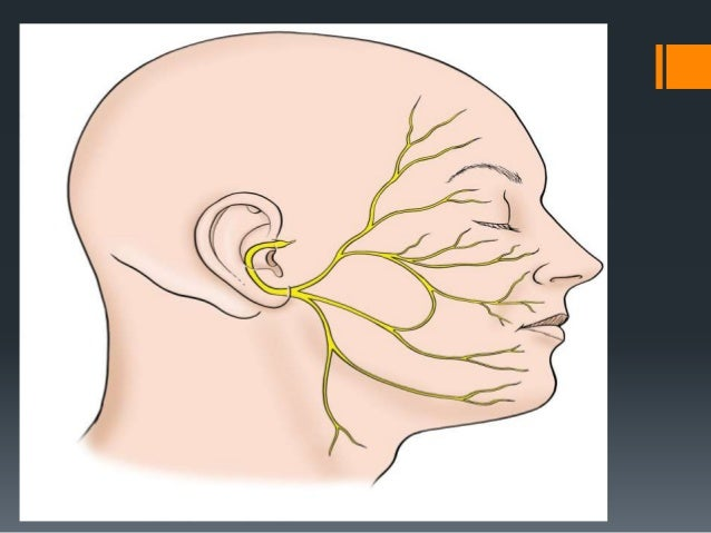"""Geniculate Ganglion The geniculate ganglion (from Latin genu, for """"knee"""") is an L-shaped collection of fibers and sensory ..."""