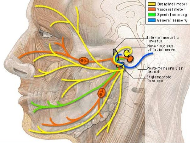 Play thiis trunk of the facial nerve video love
