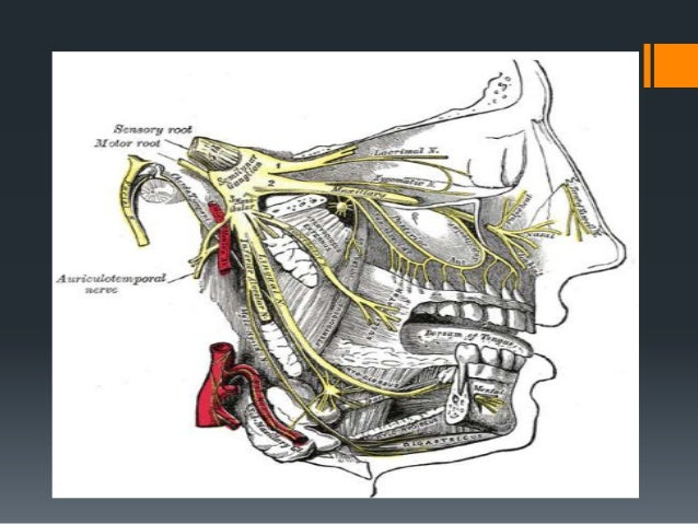  The terminal branches of facial nerve then spread in a fan like fashion as five separate nerves   Temporal branch : It ...