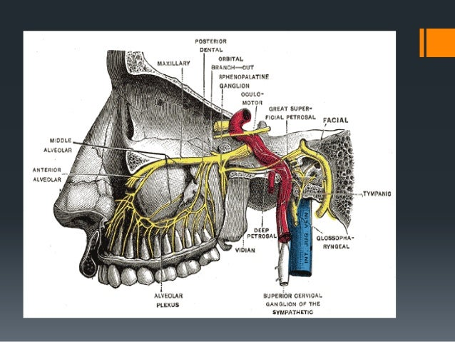  Marginal mandibular branch: It extends anteriorly and inferiorly within the substance of parotid gland, there may be two...