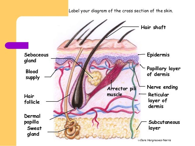 facial skin structure Epidermis Diagram 7