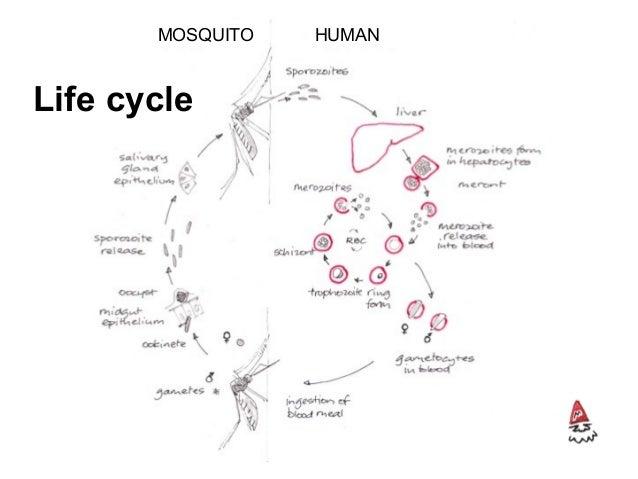 Life cycle MOSQUITO HUMAN