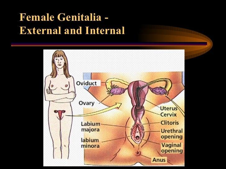 sex-organ-women-porn