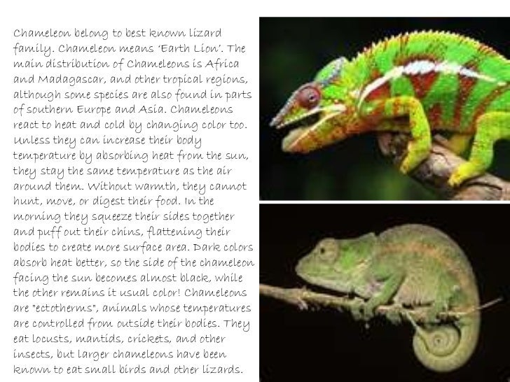 Facts about chameleons