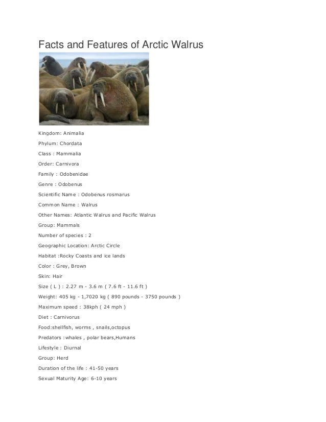 Facts and Features of Arctic Walrus  Kingdom: Animalia Phylum: Chordata Class : Mammalia Order: Carnivora Family : Odobeni...