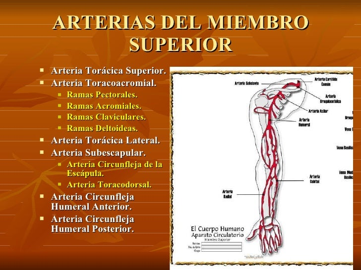 Vascularización del Miembro Superior