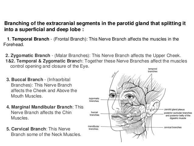 Crossing facial branch