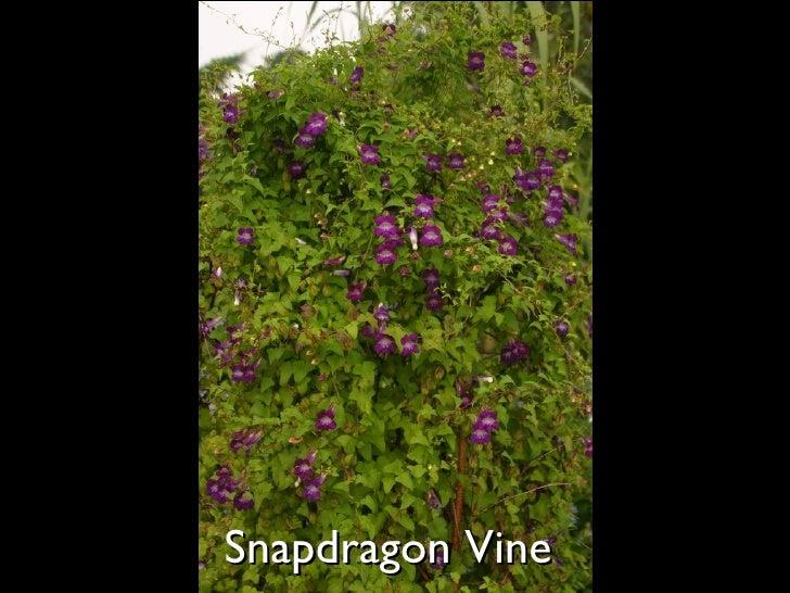 Snapdragon Vine