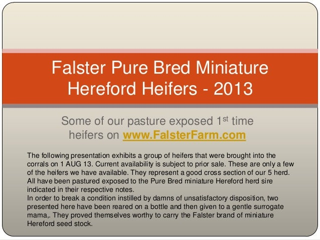 Some of our pasture exposed 1st time heifers on www.FalsterFarm.com Falster Pure Bred Miniature Hereford Heifers - 2013 Th...