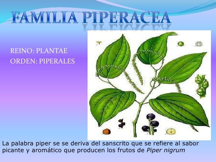 FAMILIA PIPERACEA<br />REINO: PLANTAE<br />ORDEN: PIPERALES<br />La palabra piper se se deriva del sanscrito que se refier...