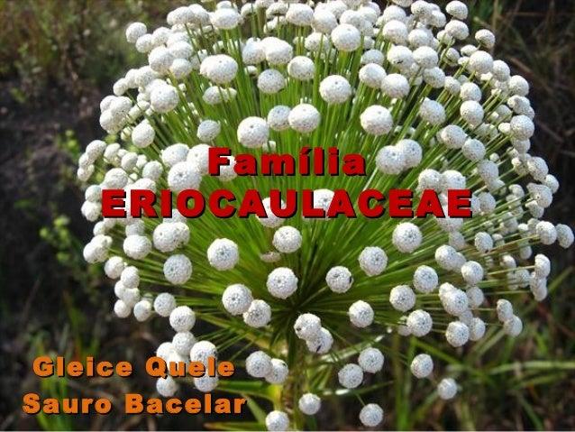 Família    ERIOCAULACEAE Gleice QueleSauro Bacelar