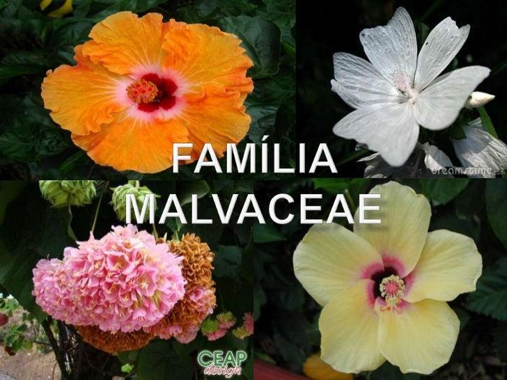 Família malvaceae