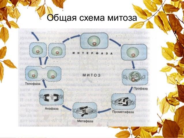 По презентацию клетки биологии жизненный класс цикл 10