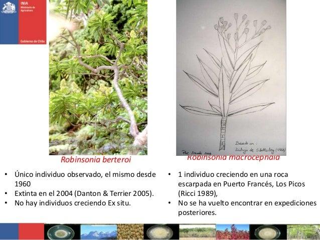 Robinsonia berteroi• Único individuo observado, el mismo desde1960• Extinta en el 2004 (Danton & Terrier 2005).• No hay in...