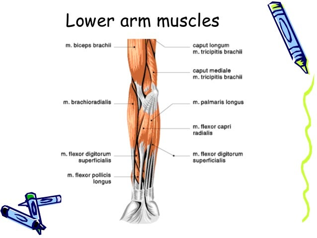 FA&P Muscles and Nerves