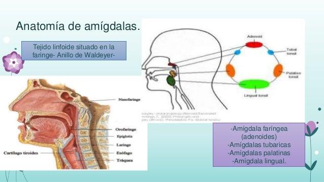 Las Amígdalas De La Faringe - HD