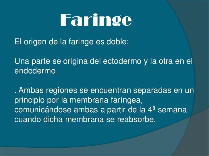 Faringe<br />El origen de la faringe es doble: <br />Una parte se origina del ectodermo y la otra en el endodermo<br />. A...