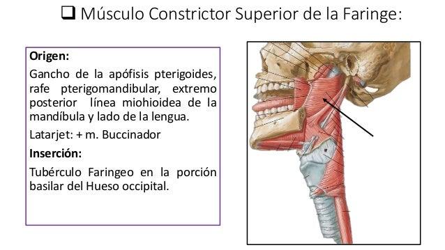 anatomia de la Faringe y esófago