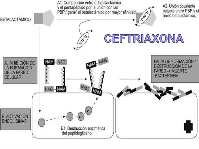 1. EFICACIA  FD: Antibiótico, cefalosporina 3ª generación. Inhibe la síntesis de pared celular  bacteriana.  FC: Metaboliz...