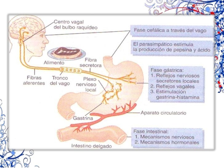 Retroalimentación (grasas, CCK)