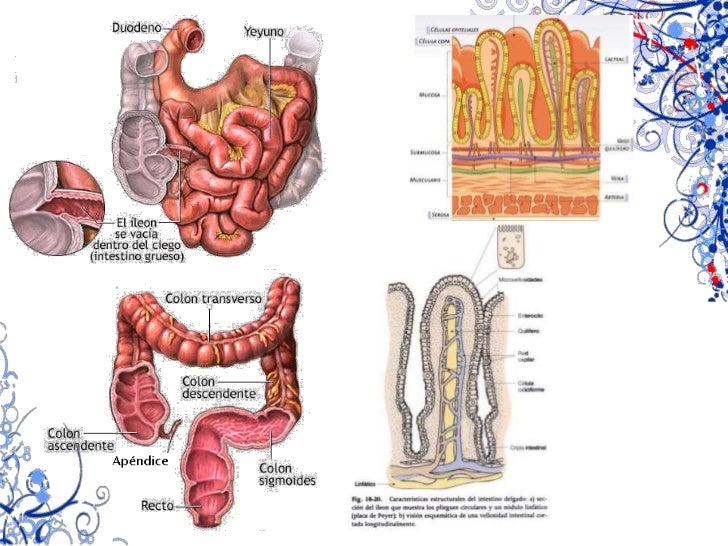 Gastrina (mucosa antral)