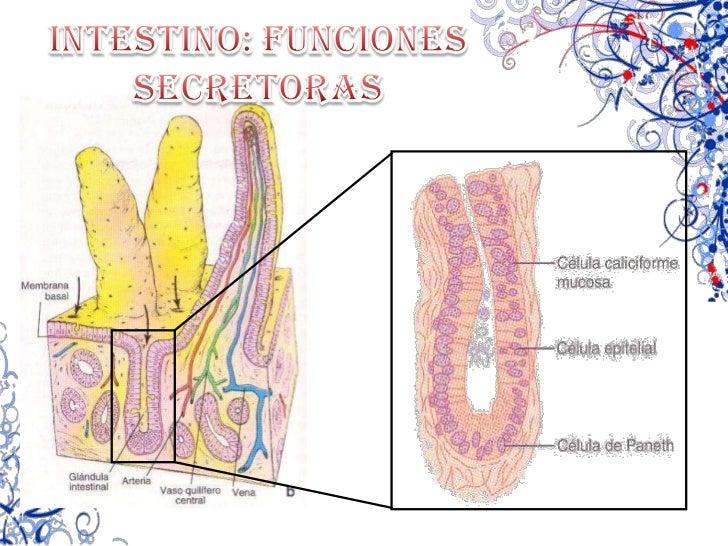 Gastrina</li></ul>INHIBE POR:<br /><ul><li>Secretina (duodeno)