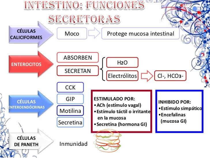 Péptido inhibidor</li></ul>  gástrico GIP<br />  (duodeno y yeyuno)<br /><ul><li>Somatostatina </li></ul>  (mucosa GI)<br ...