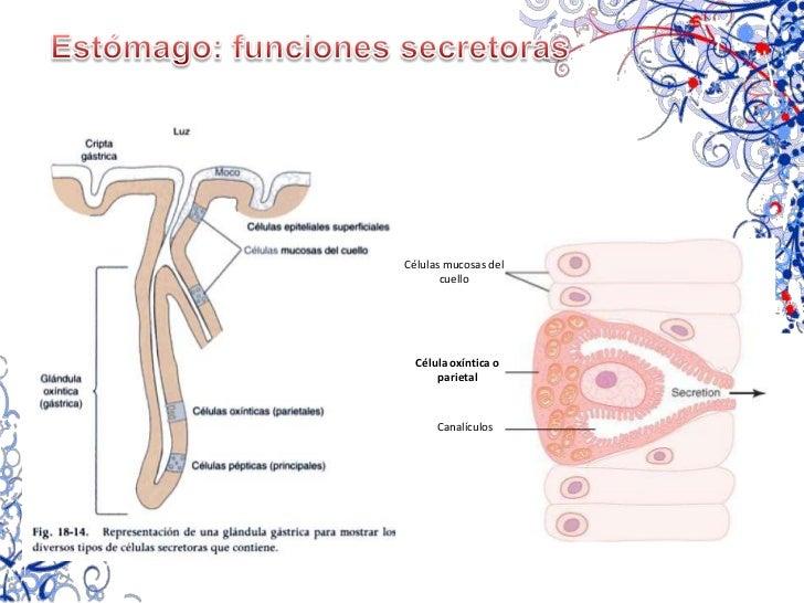 Estómago: Funciones motoras<br />ALMACÉN<br />0.8 – 1.5 Litros de quimo<br />MEZCLA Y PROPULSIÓN<br />Estómago lleno<br />...