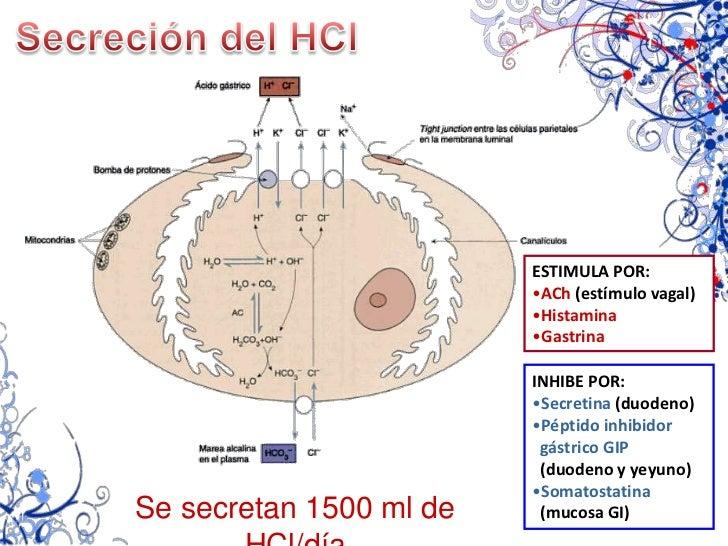 Frecuencia: 1 onda/15-20 seg</li></ul>Estómago vacío<br />CONTRACCIONES<br />DE HAMBRE<br /><ul><li>Contracciones peristál...