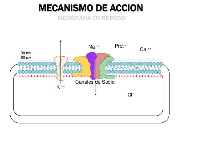 MECANISMO DE ACCION MEMBRANA EN FASE DE DESPOLARIZACION  K ++  Prot -Na ++  + 20MV  Ca ++  Na ++  ++++++++++++++++++++++++...